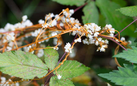 The white flowers and orange stems of Beaked Dodder (cuscuta rostrata) climbing on a plant