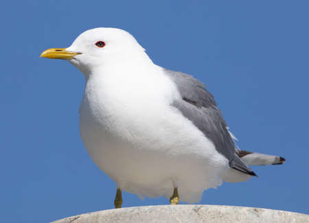 A Mew Gull sits on top of a light post.