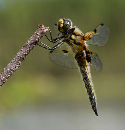 Closeup of a Four-spotted Skimmer dragonfly (Libellula quadrimaculata) from Anchorage, Alaska