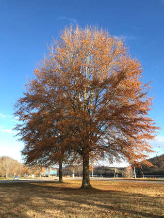 A fall foliage willow oak (Quercus phellos) tree at Oak Ridge Marina, Oak Ridge, Tennessee.