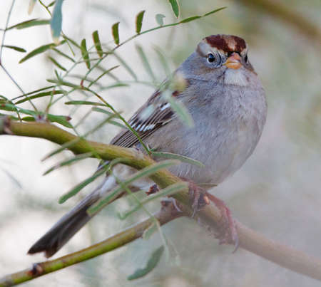 Juvenile White-crowned Sparrow (Zonotrichia leucophrys) perched on a branch in the deserts of Southern California.