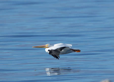 An American white pelican flying low over a The Salton Sea Stok Fotoğraf