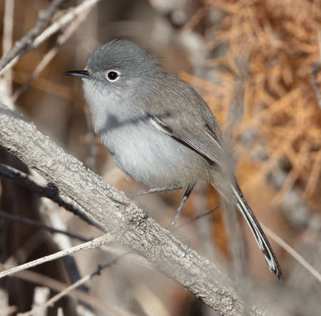 Side view of a blue-gray gnatcatcher (Polioptila caerulea) in the desert of California Stok Fotoğraf