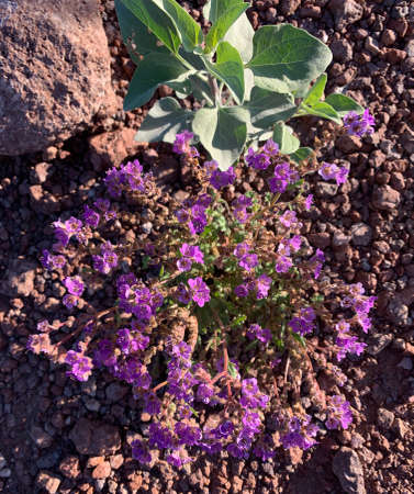 A clump of Cleftleaf Wildheliotrope (Phacelia crenulata) blooming in the Sonoran Desert in spring, Arizona. Stok Fotoğraf
