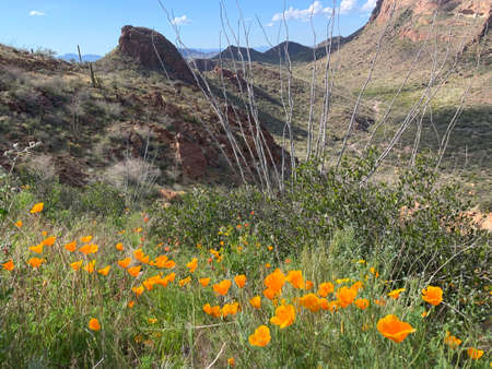 Spring afternoon on the trail at Estes Canyon with Mexican Poppies, Organ Pipe Cacturs National Monument, Arizona, USA