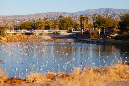 A bay at Salton Sea State Recreation Area is filled with Bonaparte Gulls