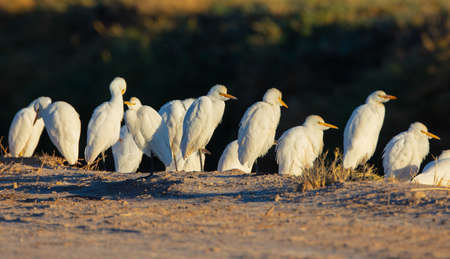 A group of cattle egrets (Bubulcus ibis) stand next a road at Salton Sea, California stand next a road at Salton Sea, California Stok Fotoğraf