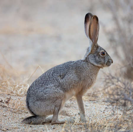 A beautiful black-tailed jackrabbit (Lepus californicus) or American desert hare sits in the sand of Borrego Springs, Californiaåç