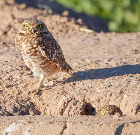 A burrowing owl (Athene cunicularia) stands next to a nest hole while another peeks out next to a road in California. Stok Fotoğraf