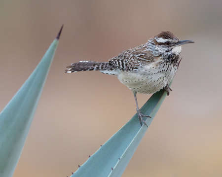 A cactus wren (Campylorhynchus brunneicapillus) sits on the end of an aloe leaf in Borrego Springs, California
