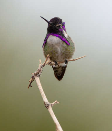 A male Costas hummingbird sits on a stick on the Palm Canyon Trail, Borrego Springs, California Stok Fotoğraf
