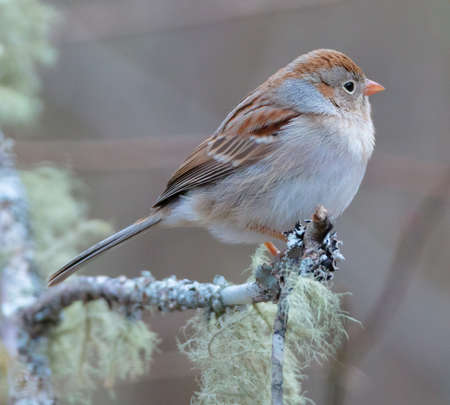 A field sparrow perched (Spizella pusilla) on a branch covered with lichen
