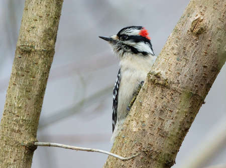 A male downy woodpecker (Dryobates pubescens) looks away from a tree branch
