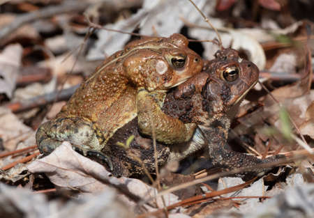 A pair of American toads (Anaxyrus americanus[) mating in spring in Tennessee