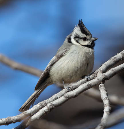A handsome bridled titmouse (Baeolophus wollweberi) sits on a branch in Peppersauce Canyon near Tucson, Arizona