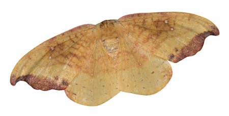 A top view of a colorful rose hooktip moth (Oreta rosea) is isolated on a white background