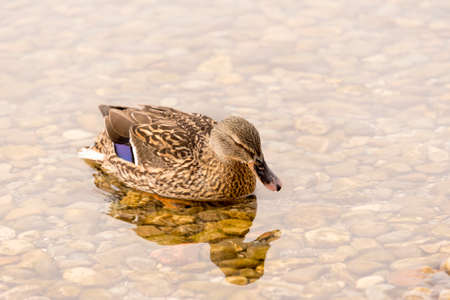 One Wild Duck Swimming in the Lake Stock Photo - 25650343