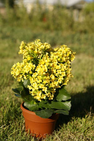 Succulent tropical kalanchoe plant with yellow flowers in a pot succulent tropical kalanchoe plant with yellow flowers in a pot stock photo picture and royalty free image image 2526168 mightylinksfo