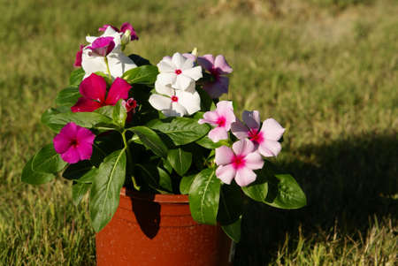 Vinca plants with multi colored flowers blooming in a pot. photo