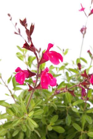 Navajo Pink Salvia, aka Navajo Rose Sage, flower buds and blooms closeup over white Stock Photo