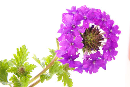 Verbena canadensis homestead purple. Fresh blooming flower head cluster over white. photo