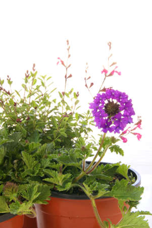 Spring gardening with drought resistant Verbena homestead purple, and Salvia Navajo Pink in pots over white. photo