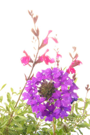 resistant: Spring gardening with drought resistant Verbena homestead purple, and Salvia Navajo Pink in pots over white.