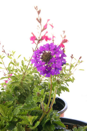 drought    resistant plant: Spring gardening with drought resistant Verbena homestead purple, and Salvia Navajo Pink in pots over white.