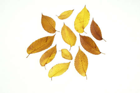 Fall leaves in yellows and browns on white