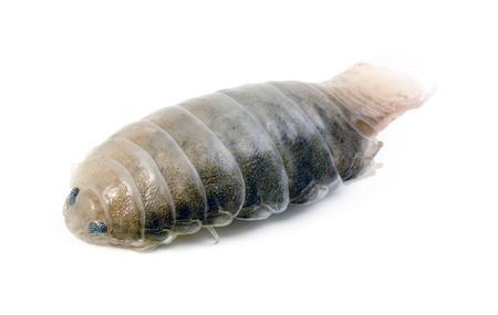 arthropoda: Macro of a talitrus saltator, also known as sand flea, family Talitridae, order Amphipoda, subphylum Crustacea. Sometimes used by fishermen as fish bait. Studio isolated on white. Stock Photo