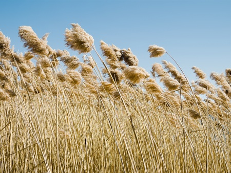 reeds: common reed (phragmites australis) bending with the wind, against clear sky, in winter