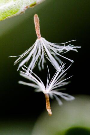 non stock: Dandelion seeds dancing in the wind