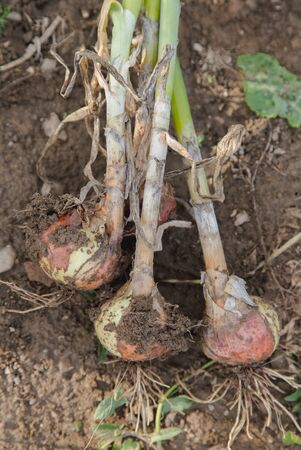 Handpicked onion bunch lying on ground Stok Fotoğraf - 66269065