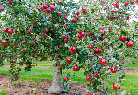 non stock: Apple on trees in orchard in fall season Stock Photo