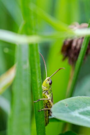 caelifera: Grasshopper, Caelifera, hidden in green grass morning light in extreme macro shot
