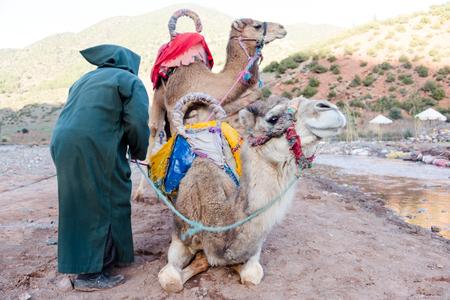 Zwei Kamele mit Berbermannbesitzer bereiten sich auf lange Reise vor. Nahes hohes Kamelhauptporträt der Vertikale Standard-Bild - 73329386