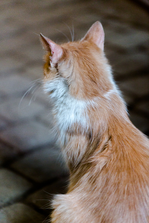 Red ginger cat with white stripes on street close up portrait. Vertical orientation