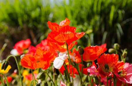 independency: Vibrant red poppies in bright sun light. Remembrance Day poppy symbol. Horizontal full frame crop. Stock Photo