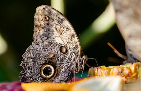 Giant Owl Caligo telamonius memnon, butterfly eats pinapple juice from fruit. Extreme maro side portrait low angle perspective. Horizontal full frame crop