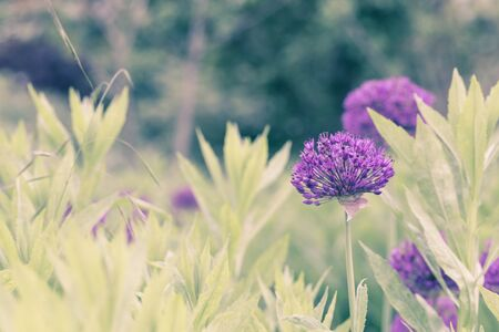 Violet flowers on green meadow in summmer time in pastel muted tones. Horizontal composition Stock Photo