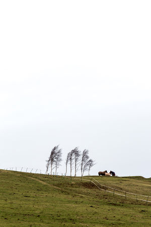 next horizon: Three horses standing on hill next to birch trees in cold windy weather. Vertical orientation with low horizon, copy space on top Stock Photo