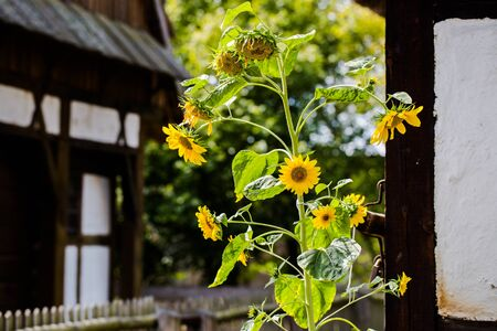 Single sunflower in old farm with houses covered with prussian wall in Polish village