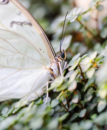 White Morpho polyphemus buterfly. Profile side macro portrait. Vertical crop. Focus on eye and head