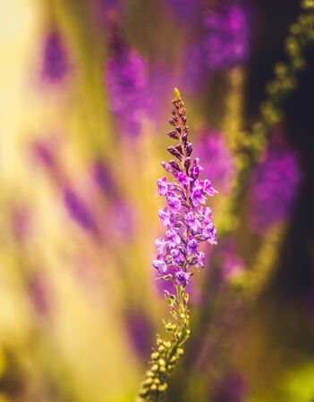 quite: Violet narrow tall flowers on green meadow in summmer time in pastel muted tones. Verticall composition Stock Photo