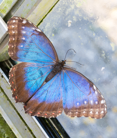 Blue Morpho peleides butterfly with open wings resting on window. Top view extreme macro portrait Stock Photo