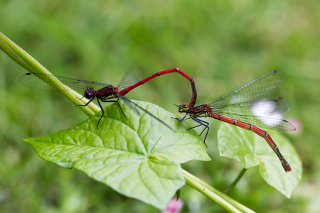Large Red Damselfly, Pyrrhosoma nymphula, male and female copulate on green leaf. Horizontal full frame crop