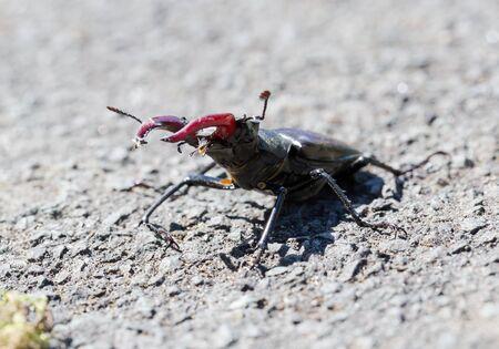 Stag beetle (Lucanus cervus) macro side portrait. Horizontal crop with central composition of the creature