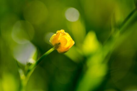 shallow: Kingcup, Marsh Marigold (Caltha palustris) extreme macro focus on yellow flower head, shallow deep of depth, green backgrounds Stock Photo
