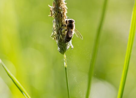 shallow: Flying bee collects nectar from blooming grass. Extreme macro horizontal shot in morning light with shallow deep of depth