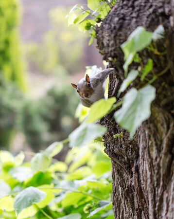 Grey squirrel, Sciuridae, on tree trunk poses to portrait photography. Vertical close up shot Stock Photo